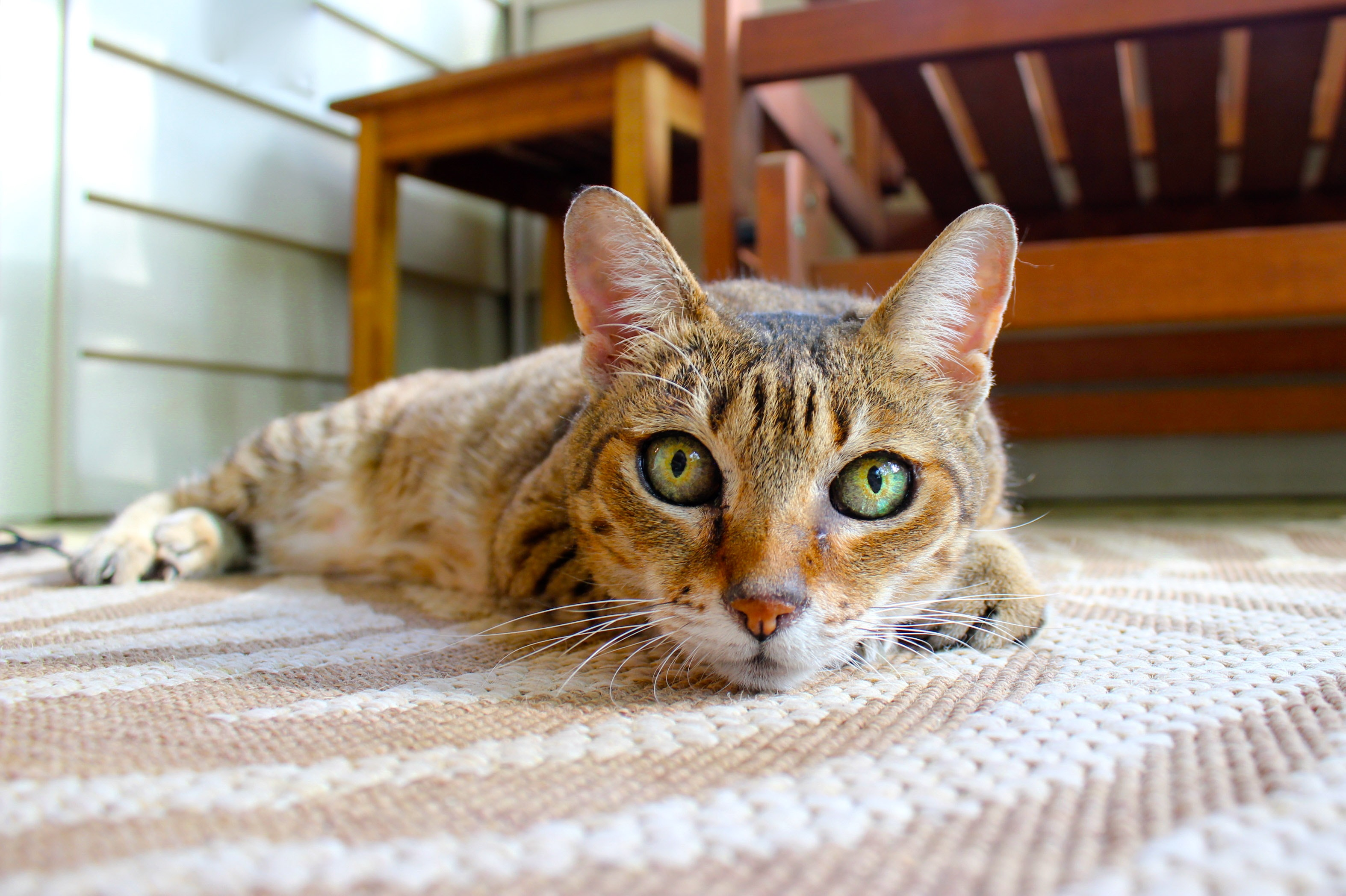 cat lying on the carpet